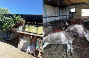 Elektrik akımına kapılan 6 inek öldü