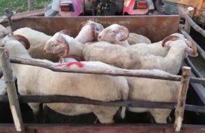 Bursa'da 8 kurbanlık koyun çalındı