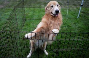 CDC, Türkiye'den ABD'ye köpek girişini yasakladı