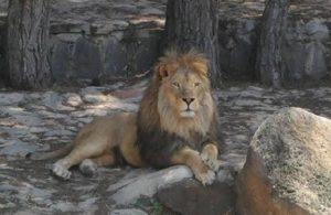 Hapsedildiği kafesi parçalayarak kaçan aslan, öldürüldü