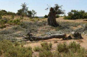 JES için Seferihisar'da asırlık zeytin ağaçları kesilmeye başlandı