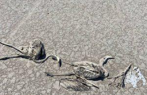 'Ölümlerden sonra flamingolar Tuz Gölü'ne gelmeyebilir'