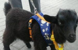 Cüce keçiyi Büyükçekmece'de buldu