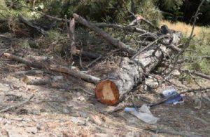 AKP'li belediye otopark için onlarca ağacı kesti
