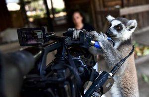 Tarsus'un 'Madagaskarlı' sakinleri: Yavru lemurlar