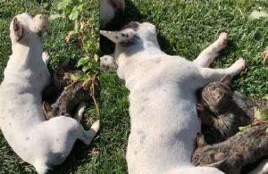 Anneleri ölen kedilere French Bulldog cinsi köpek sütannelik yapıyor