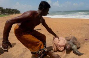 Sri Lanka'da 'büyük felaket': Yüzlerce ölü kaplumbağa karaya vurdu