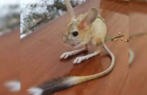 'Kulakları tavşana, vücudu fareye, ayakları kanguru ayağına benziyor'