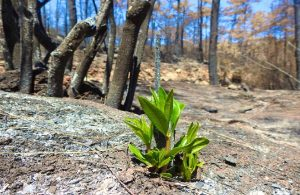 Yanan ormanlar kendilerini yeniliyor: Doğayı ıslah etmeyi bırakalım!