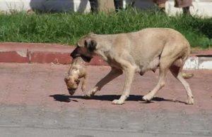 5 yavru köpek darp edilerek öldürüldü, anne köpek yavrusunu işte böyle taşıdı!