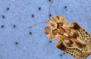 Dantel böceği Türkiye'de üç şehri istila etti