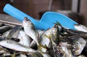 Hamsi, istarvit ve sardalyada dökme avcılık yasaklandı