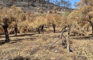 Belediye yangında zarar görmüş zeytin ağaçlarının sağlıklı gelişmesi için çalışıyor