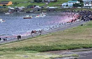 Faroe Adaları'nda katliam: 1428 balina ve yunus öldürüldü