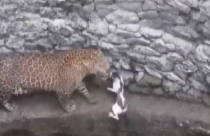 Kedinin leopara 'diklendiği' anlar gündem oldu