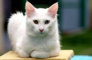 4 bini aşkın kedi incelendi: En saldırganı Van kedisi